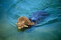 Picture of sh ch kellybrook joxer daly, irish water spaniel retrieving stick, swimming