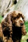 Picture of sh ch topjoys sussex nutmeg, sussex spaniel, portrait