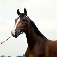 Picture of shagya arab stallion in denmark, head study