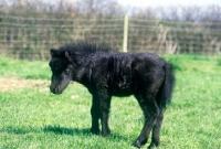 Picture of shetland foal