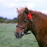 Picture of shetland pony head study