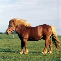 Picture of shetland pony stallion