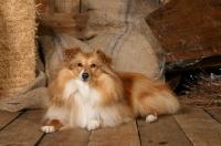 Picture of Shetland sheepdog (aka sheltie) in barn