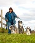 Picture of Shetland Sheepdog, Australian Shepherd (miniature) and Australian Shepherd on lead