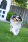 Picture of shetland sheepdog running in yard