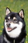 Picture of Shiba Inu portrait