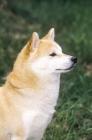 Picture of Shiba Inu profile