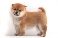 Picture of Shiba Inu puppy