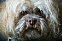 Picture of Shih Tzu close up