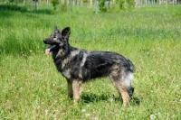 Picture of Shiloh shepherd, large oldtype german shepherd