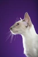Picture of Siamese in profile