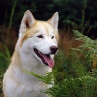 Picture of siberian husky, ch forstal's noushka