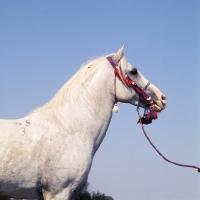 Picture of siglavy bagdady VI, Shagya Arab stallion head study with blue sky backdrop
