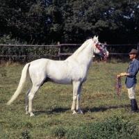 Picture of Siglavy Bagdady VI, Shagya Arab stallion side view
