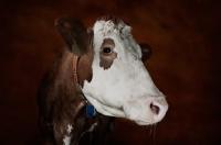 Picture of Simmental cow portrait