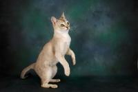 Picture of singapura cat jumping up