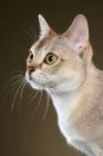 Picture of singapura cat, portrait