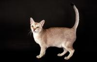 Picture of Singapura cat standing on dark background