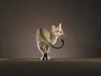 Picture of singapura cat, turning