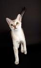 Picture of Singapura cat walking on dark background