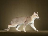 Picture of singapura cat, walking