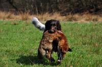 Picture of Small Munsterlander retrieving dead fox