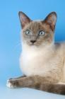Picture of snowshoe cat portrait