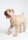 Picture of Soft coated wheaten terrier walking in studio