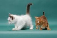 Picture of Sorrel (Red) Abyssinian kitten with Ragdoll kitten