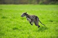 Picture of Spanish Galgo (Galgo Espanol) running in field
