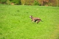 Picture of Spanish Galgo (Galgo Espanol) running