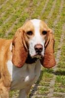 Picture of Spanish Hound (aka Sabueso Espanol), head study