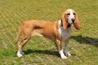 Picture of Spanish Hound (aka Sabueso Espanol)