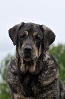 Picture of Spanish Mastiff (Mastin Espanol)