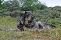 Picture of Spanish Mastiff (Mastin Espanol), lying down