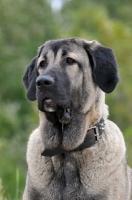 Picture of Spanish Mastiff (Mastin Espanol) portrait