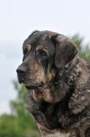 Picture of Spanish Mastiff (Mastin Espanol) head study