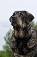 Picture of Spanish Mastiff (Mastin Espanol) looking up