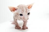 Picture of sphynx kitten looking toward camera