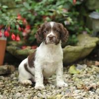 Picture of springer spaniel puppy sat in garden setting
