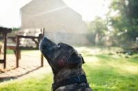 Picture of Staffordshire Bull Terrier headshot in garden
