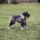 Picture of standard schnauzer on grass