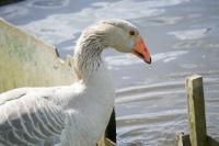 Picture of Steinbacher goose, profile