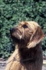 Picture of Styrian Mountain hound (aka  Steirische Rauhaarbracke)