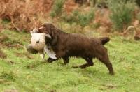 Picture of Sussex Spaniel, retrieving