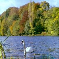 Picture of swan on thames near medmenham in landscape of trees