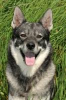 Picture of Swedish Elkhound (aka Jamthund), portrait