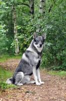 Picture of Swedish Elkhound (aka Jamthund)