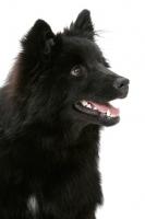 Picture of Swedish Lapphund portrait