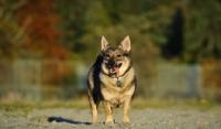 Picture of Swedish Vallhund in autumn